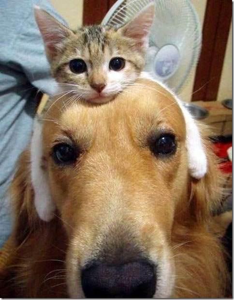 Catheadband