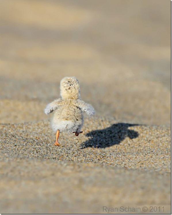 running_chick